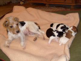 Foto 2 Parson Russel Terrier Welpen