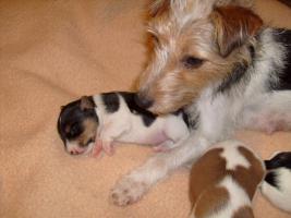 Foto 6 Parson Russel Terrier Welpen