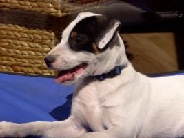 Foto 3 Parson Russell Terrier