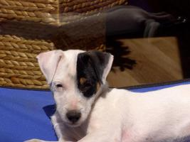 Foto 4 Parson Russell Terrier
