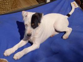Foto 6 Parson Russell Terrier