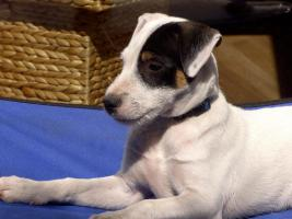 Foto 7 Parson Russell Terrier