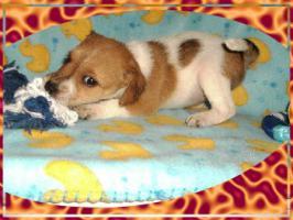 Foto 2 Parson Russell Terrier Welpen