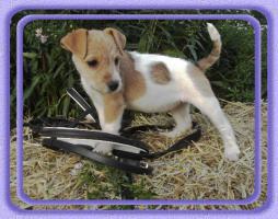 Foto 3 Parson Russell Terrier Welpen