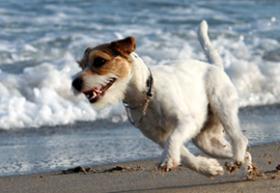 Foto 4 Parson Russell Terrier Zucht von Morrien/Welpen/NRW/Münsterland