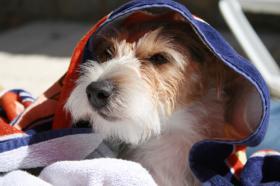 Foto 7 Parson Russell Terrier Zucht von Morrien/Welpen/NRW/Münsterland