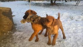Foto 2 Patterdale Terrier