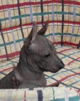 Foto 3 Perro sin Pelo del Peru/Peruanischer Nackthund