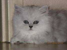 Foto 2 Perser Baby