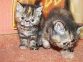 Foto 2 Perser Kätzchen