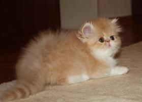 Foto 2 Perser Kitten!!!