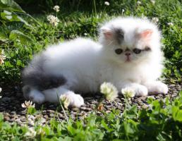 Foto 3 Perser Kitten!!!