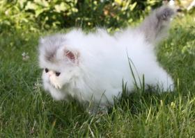 Foto 4 Perser Kitten!!!