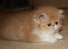 Foto 6 Perser Kitten!!!