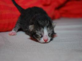 Foto 2 Perser Mix Kitten
