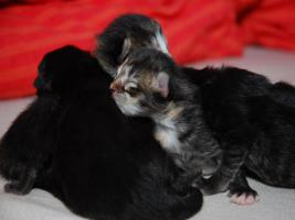 Foto 6 Perser Mix Kitten