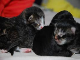 Foto 7 Perser Mix Kitten