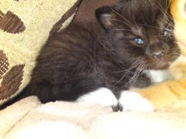 Foto 2 Perser Mix Kitten abzugeben