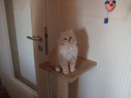 Foto 2 Perser katzenbabys