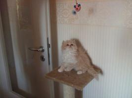 Foto 3 Perser katzenbabys