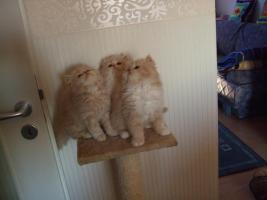 Foto 4 Perser katzenbabys