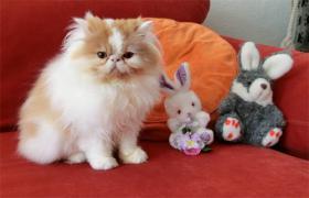 Perser kleine Kätzchen