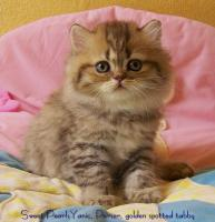 Foto 3 Perserbaby in golden spotted tabby