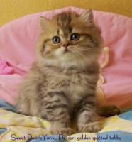 Foto 4 Perserbaby in golden spotted tabby
