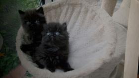 Foto 4 Perserbabys mit Nase
