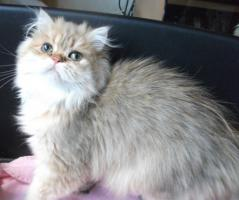 Foto 2 Perserkatze 8 Monate alt golden Chinchilla lieb und anhänglich m Pap