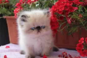 Foto 2 Perserkatze Wunderschöne Katzenbabys mit Zeichen