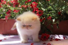 Foto 5 Perserkatze Wunderschöne Katzenbabys mit Zeichen