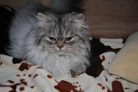 Foto 2 Perserkatze, chinchilla, 5 Monate sucht liebes Zuhause