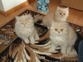 Foto 4 Perserkatzen Babys