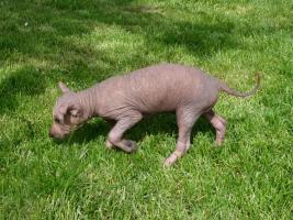 Peruanischer Nackthund Welpen mit Papiere