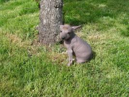 Foto 2 Peruanischer Nackthund Welpen mit Papiere