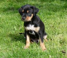 Foto 3 Peruanischer Nackthund Welpen mit Papiere