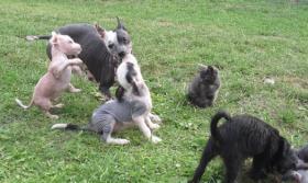Peruanischer Nackthund mini Welpen Rarität