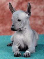 Peruanischer Nackthund - Perro sin pelo del Peru