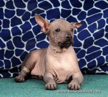 Foto 5 Peruanischer Nackthund - Perro sin pelo del Peru