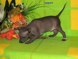 Foto 2 Peruanischer Nackthund - Perro sin pelo del Peru  - Welpen