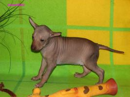 Foto 3 Peruanischer Nackthund - Perro sin pelo del Peru  - Welpen