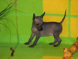 Foto 4 Peruanischer Nackthund - Perro sin pelo del Peru  - Welpen