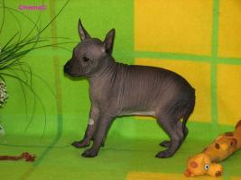 Foto 6 Peruanischer Nackthund - Perro sin pelo del Peru  - Welpen