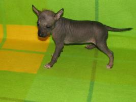 Foto 3 Peruanischer Nackthund - klein