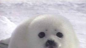 Petition: Justin Trudeau-End the Seal Slaughter in Canada permanently