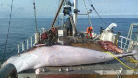 Petition: Petition against whaling in Norway