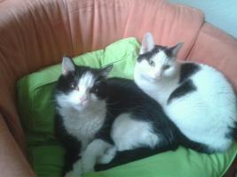 Pflegefamilie für 2 liebe Hauskatzen