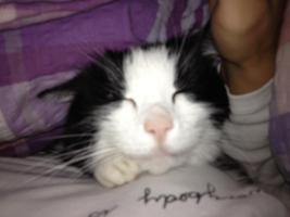 Foto 2 Pflegefamilie für 2 liebe Hauskatzen
