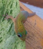 Foto 2 Phelsuma Laticauda- Goldstaubttaggecko Nachzuchten